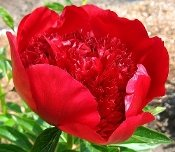 red peonies, Peonies RED CHARM, Peony Farm, WA, red peonies for sale