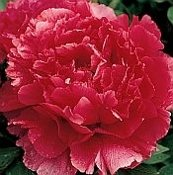 red double Tree Peony, Toichi Ruby tree peony for sale at Peony Farm, WA