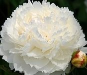Peonies BOWL OF CREAM, Peony Farm, WA peonies for sale