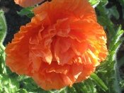 PRINCE OF ORANGE PAPAVER
