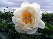 white Itoh Peonies, LOVE AFFAIR Itoh Peony, Peony Farm, WA, itohs for sale