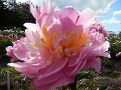 pink Peonies LAVON, Peony Farm, WA, plants for sale