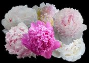 FRAGRANT PEONIES COLLECTION