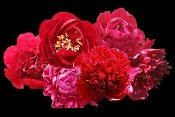 RED PEONIES COLLECTION