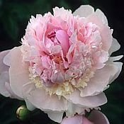 Peonies ANGEL CHEEKS, Peony Farm, WA PINK peonies for sale