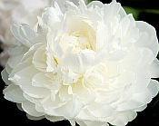 white Peonies, MOTHERS CHOICE, Peony Farm, WA, white peonies for sale