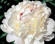 white Peonies, NICK SHAYLOR, Peony Farm, WA, peonies for sale